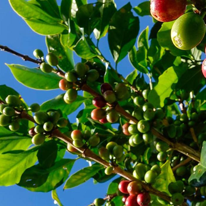 Caféier, arbre fruitier